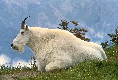 500px-Mountain_Goat_USFWS
