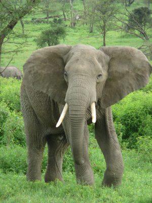 1200px-Elephant_near_ndutu